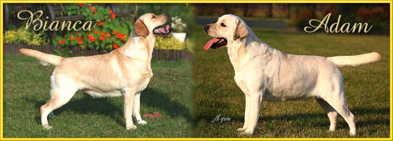 Labrador Retriever miot J